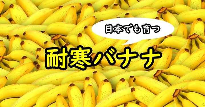 バナナ 耐寒 アイスクリームバナナ