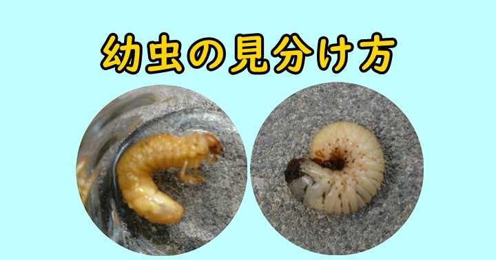 カナブン コガネムシ 幼虫 見分け方