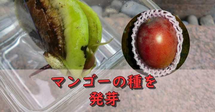 マンゴーの種を発芽させる方法。きちんと発芽するマンゴーの選び方