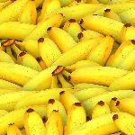 日本でも育てられる耐寒性バナナ「アイスクリームバナナ」の購入から冬越しまで紹介